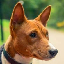Basenji Dog Breed Info